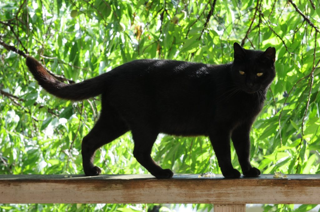 black-cat-on-fence-2